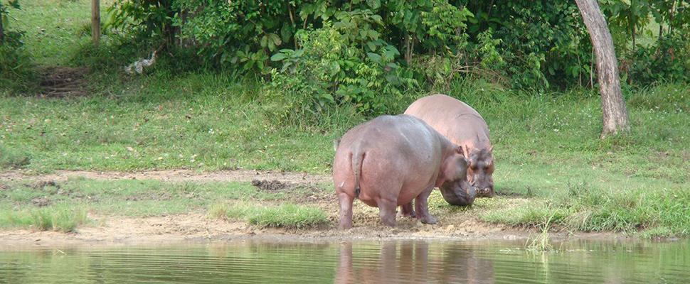¿Exportación de hipopótamos desde Colombia?