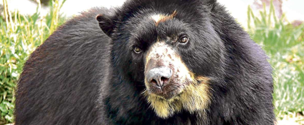 Why should Latin America take care of the Spectacled Bears?