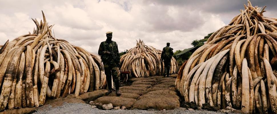 Reino Unido le apuesta a prohibir el tráfico de marfil