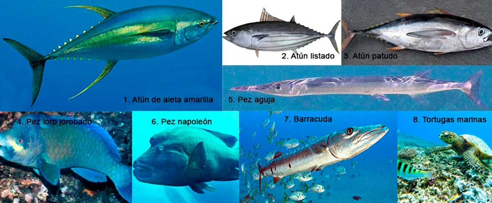 The most threatened species in the Coral Triangle: will we no longer have tuna sushi?