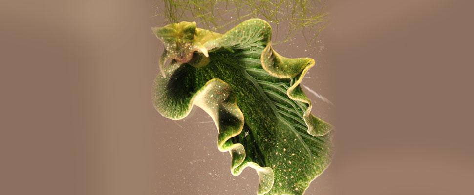 ¿Un diminuto molusco tiene la solución para el cambio climático?