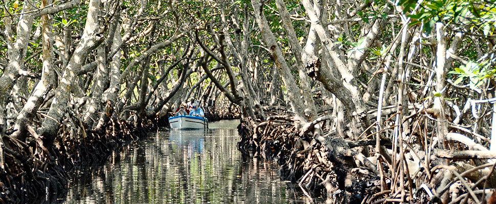 Mangroves in Latin America: What are they and what are they for?