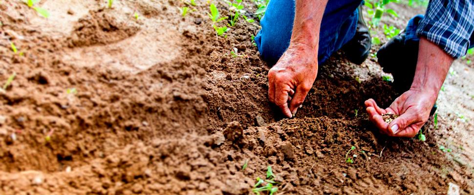 Hombre plantando semillas