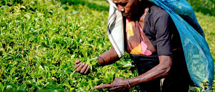 Mujer recogiendo plantas en un campo y sosteniendo una bolsa en su cabeza