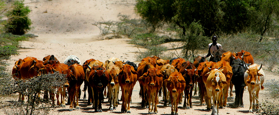 A Kenyan Maasai herdsman walks with his cattle in search of water in Kajiado District some 110 km (68 miles) from Nairobi