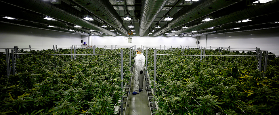 Section grower Corey Evans walks between flowering marijuana plants at the Canopy Growth Corporation