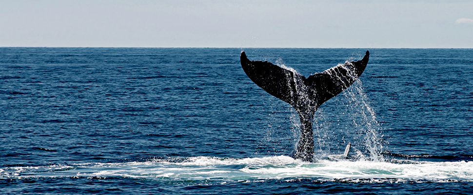 Whale's tail coming out of the surface of the ocean