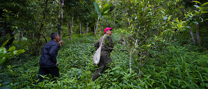 Qiu Liu (R) , 48, and Si Da, 44, ethnic Aini tea farmers, picks tea leaves at his tea plantation at a mountain village in Nannuoshan in Xishuangbanna Dai Autonomous Prefecture, Yunnan Province, China