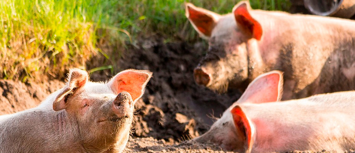 Pigs for peace: winding back from war in Colombia
