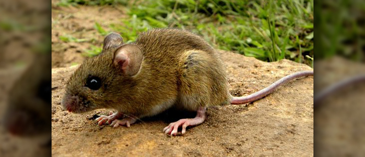 Chileans create vaccine against Hantavirus